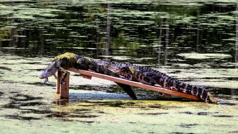 Alligators on Pond Ramp