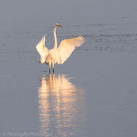 Great Egret Wings Spread for Landing