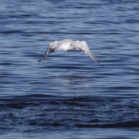 Royal Tern Lifting Out of Water