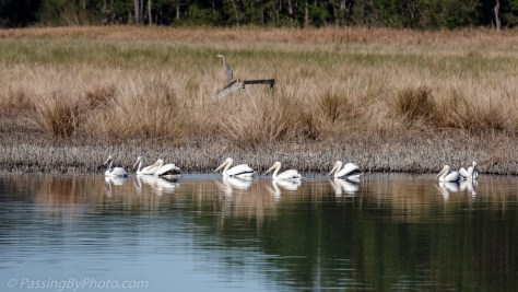 American White Pelicans in Pond