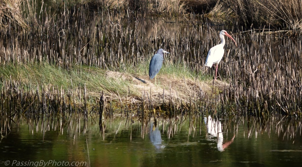 Little Blue Heron and White Ibis