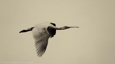 Spoonbill in Flight, Sepia
