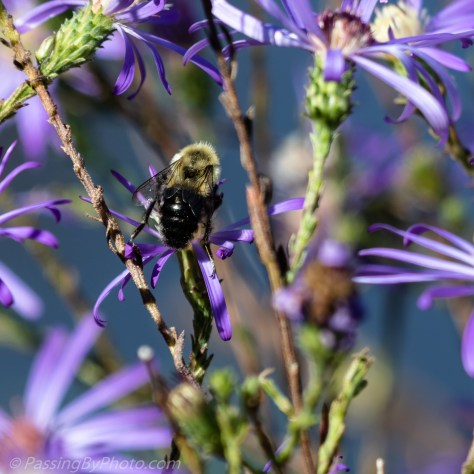 Bee on Wild Asters