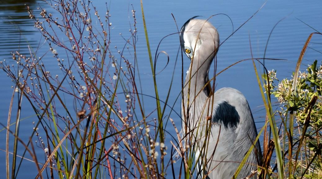 Great Blue Heron on Bank