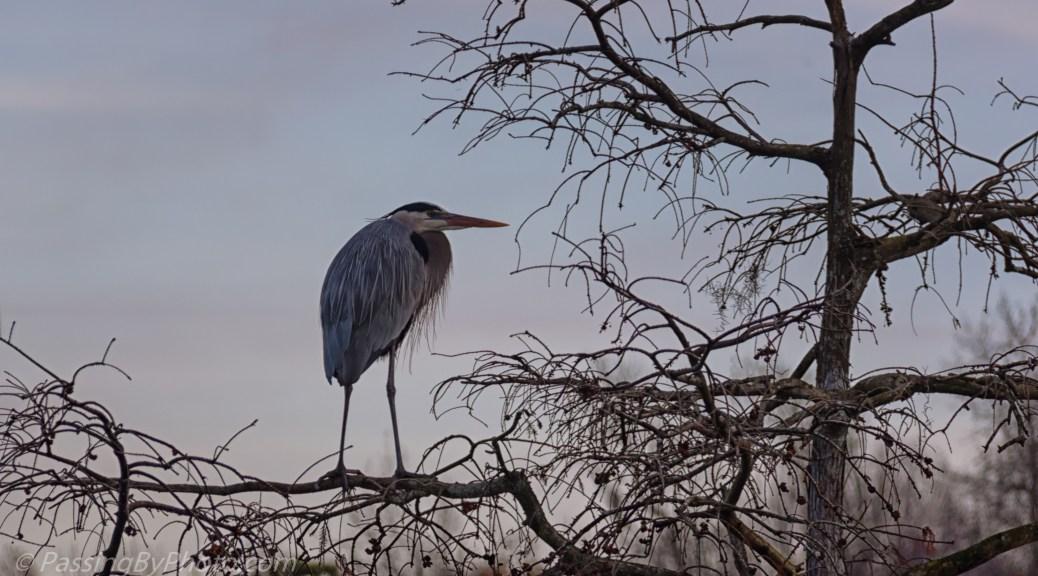 Great Blue Heron in Tree