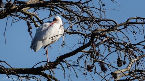 White Ibis resting in Tree