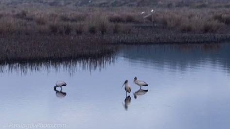 Wood Storks in Blue