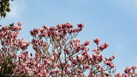 Top of Tulip Magnolia Tree