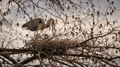 Great Blue Heron Adult and Chick, with Frog