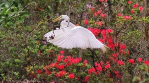 Great Egret Gathering Nest Material