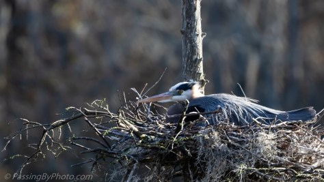 Great Blue Heron on Nest