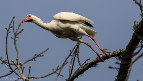 White Ibis Talking Off From Tree