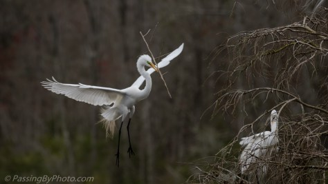 Great Egret Flying to Nest with Stick