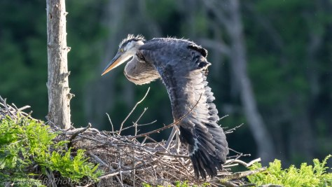 Great Blue Heron Chick Wingercizing