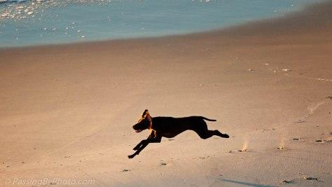 Dog Running on the Beach