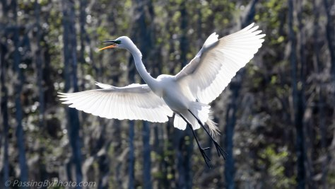 Great Egret Flying In