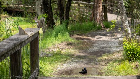 Common Grackle Bathing, Squirrel Watching