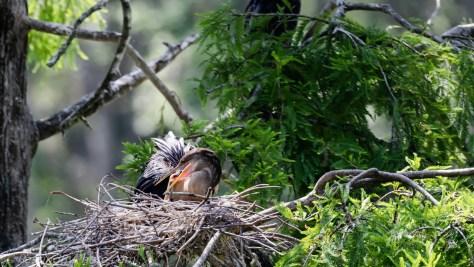 Female Anhinga and Chick