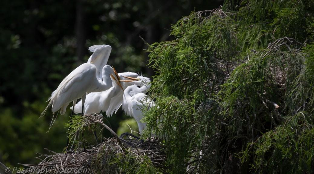 Great Egret Chicks Getting Fed
