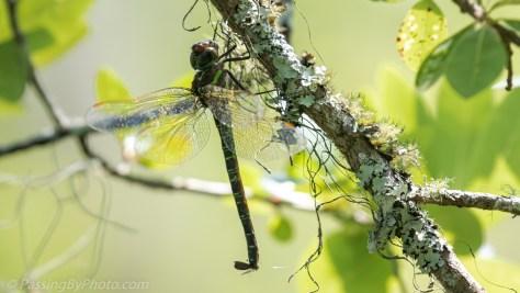Dragonfly Under Lichen Covered Branch