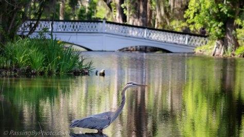 Great Blue Heron at Long White Bridge