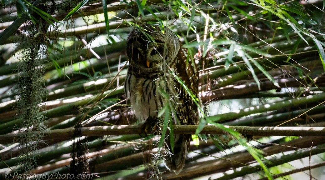 Barred Owl in Bamboo