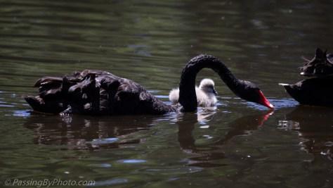 Black Australian Swans with One Cygnet