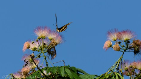 Swallowtail Butterfly on Mimosa