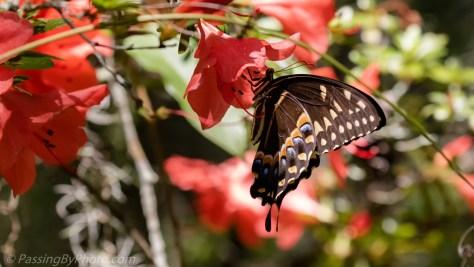 Swallowtail Butterfly on Azalea