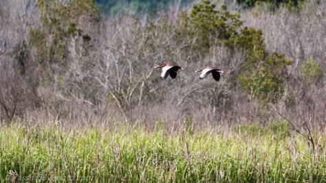 Black-bellied Whistling-Duck Pair in Flight
