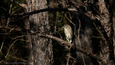 Juvenile Black-crowned Night Heron
