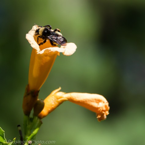 Bee Backing Out of Trumpet Vine Flower