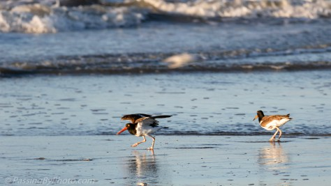 American Oystercatcher Taking Off