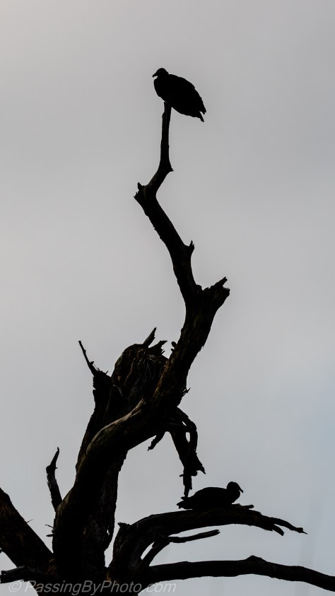 Black Vultures in Dead Tree