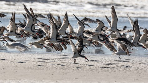 Black Skimmers Taking Off