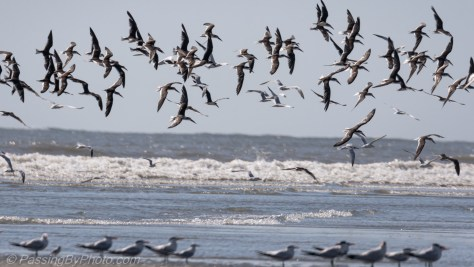 Black Skimmers Over Surf