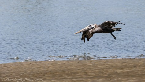 Brown Pelican Fly By