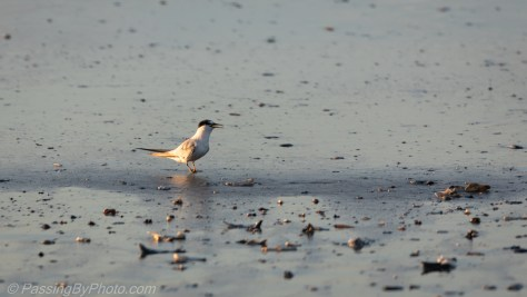 Tern at the Shore