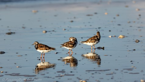 Ruddy Turnstones on Beach