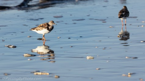 Ruddy Turnstone on Beach
