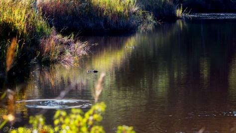 Alligators Floating