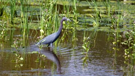 Little Blue Heron Pond Walk