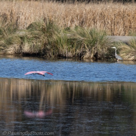 Roseate Spoonbill Flying Over Pond