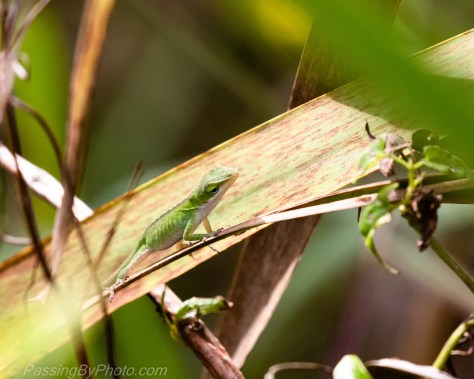 Anole on Cattail Leaf