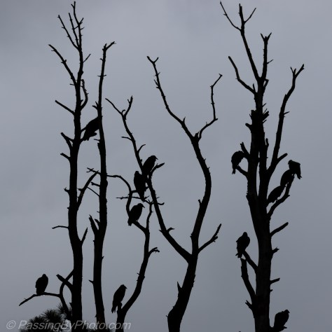 Vultures in Dead Tree