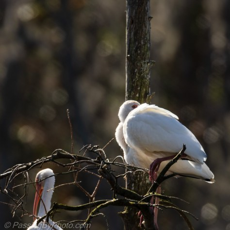 White Ibis in the Skinny Tree