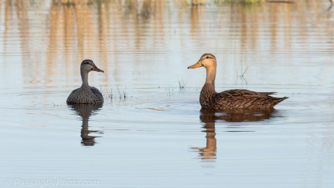 Mottled Duck Pair