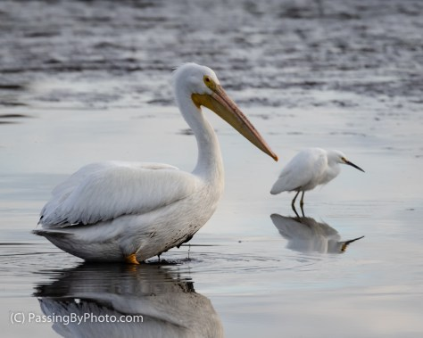 American White Pelican and Snowy Egret