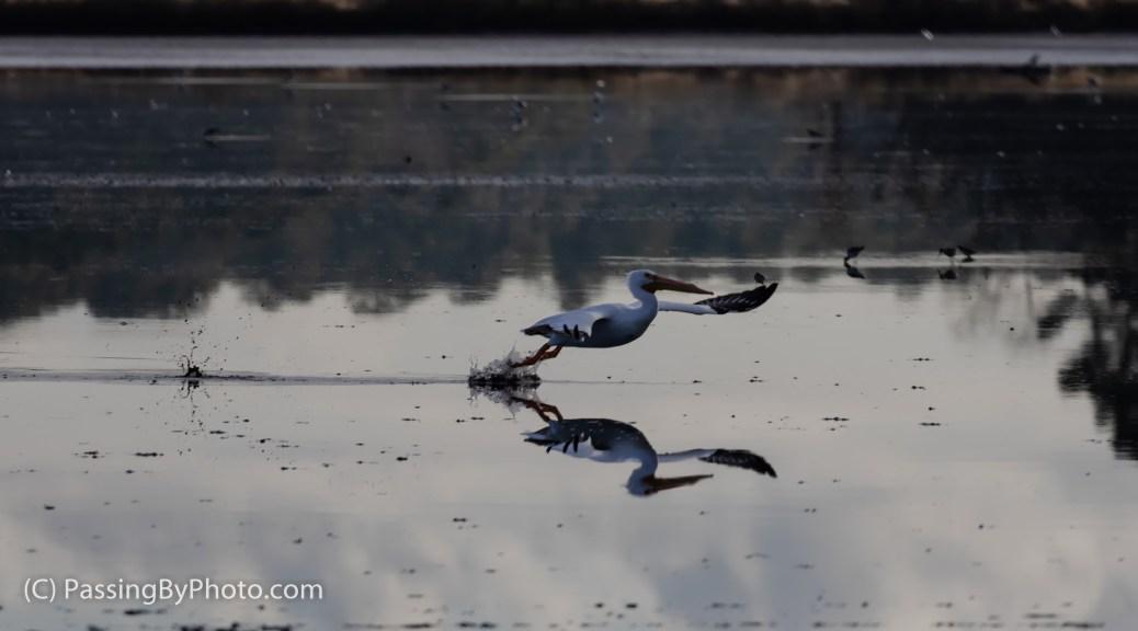 American White Pelican Taking Flight