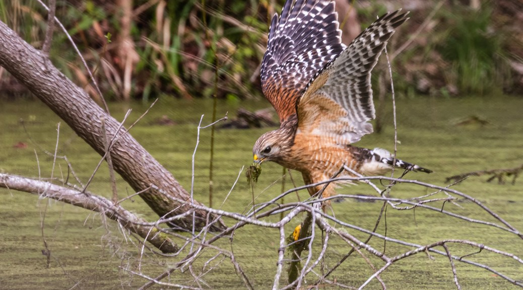 Red-shouldered Hawk Hunting in Pond